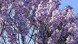 Asklepios-seeds® - 10000 Samen Paulownia tomentosa, Blauglockenbaum, Kaiserbaum, winterhart