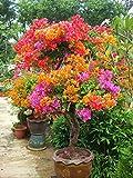 #3: Rare Multi-Colour Bush Bougainvillea Amazing Beautiful bougainvillea ( Healthy Live Plant in Pot )