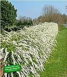 BALDUR-Garten Weiße Rispen-Spiere Hecke 'Grefsheim', 1 Pflanze Spiraea cinerea Heckenpflanze