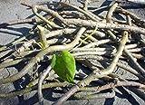#6: SUN SEEDS Giloye / Giloy Plant Fresh Stems, 16 Stems of 6 Inch Each( H02)