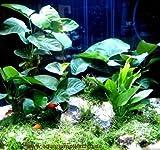 Diskus Wasserpflanzenset für 200-300 l Aquarium
