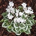 Frühlingsalpenveilchen, weiß, Cyclamen coum 'Album' von VDG-Stauden auf Du und dein Garten