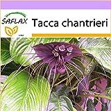 SAFLAX - Fledermausblume - 10 Samen - Tacca chantrieri