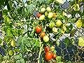10 Samen Rio Grande Tomate - Pilz- und Fäulnisresistent, sehr ertragreich