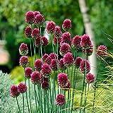 25 x Allium Sphaerocephalon bulbs size 5/6 flowers Drumsticks - Spring red flowers plants garlic - Free UK P & P