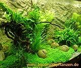 Mühlan - 4 getopfte Wasserpflanzen, 6 Bund Aquarienpflanzen + 2 Mooskugeln + Dünger - Südamerika Aquariumpflanzensortiment