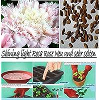 15x Shining light rosa Rose Seme Fiore Semi di fiori semi Pianta rose Giardino Rarità (Rose Garden Di Bambù)