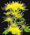 BALDUR-Garten Strahlen-Chrysanthemen 'Goldgelb', 3 Pflanzen Chrysanthemum von Baldur-Garten auf Du und dein Garten