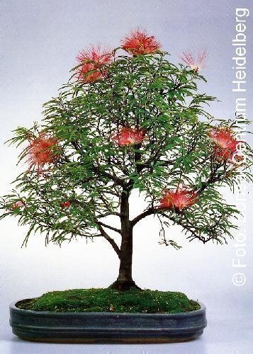 Tropica - Bonsaï, arbre à houppettes (Calliandra haematocephala) - 10 graines