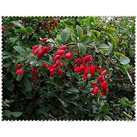 300pcs Red Crespino Berberis thunbergii semi pianta ornamentale giapponese Crespino Semi, molto popolare Semi Crespino di Thunberg - Red Fioritura Alberi