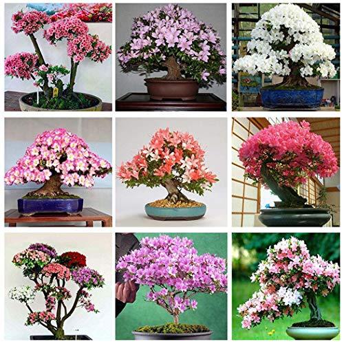 CIOLER Seed House - raro 10pcs Sakura Semillas Cerezo Rojo Japonés Escarificadas Bonsai - Ornamental