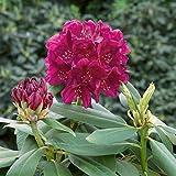 Amazon.de Pflanzenservice Rhododendron
