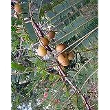 Phyllanthus emblica - Amla - 20 semillas