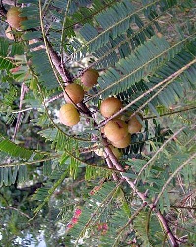 Phyllanthus emblica - Amla - 100 graines