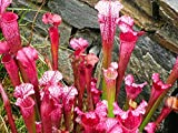 Fleischfressende Pflanze 5 Samen, Rote Schlauchpflanze (Sarracenia purpurea) Pitcher Purple