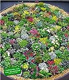 BALDUR-GartenSteingarten-Stauden-Mix 10 Pflanzen winterhart Grasnelke, niedrige Glockenblumen in Weiß und Blau, leuchtendes Carex und attraktive Sedum-Arten