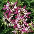 Passionsblume rot, 1 Pflanze von Landgard Blumen & Pflanzen bei Du und dein Garten