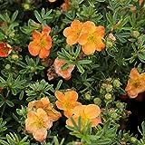 Fünffingerstrauch, rot blühend, Potentilla fruticosa, 5 Pflanzen, ca. 20-30 cm, je im kleinen Topf