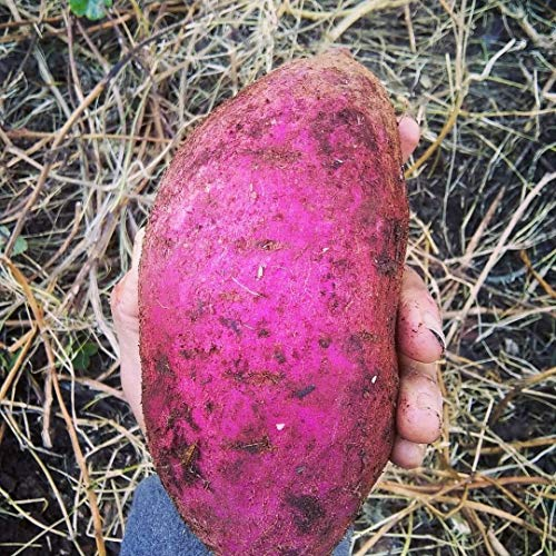 Generic Seeds: 20 Rote japanische Süßkartoffel Schein Samen seedsed - Bio - Super Productive (Japanische Süßkartoffel)