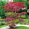 Japanischer Blutahorn von Meingartenshop auf Du und dein Garten