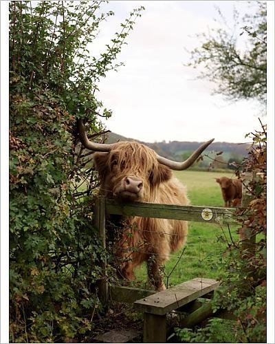 photographic-print-of-highland-cow-by-media-storehouse