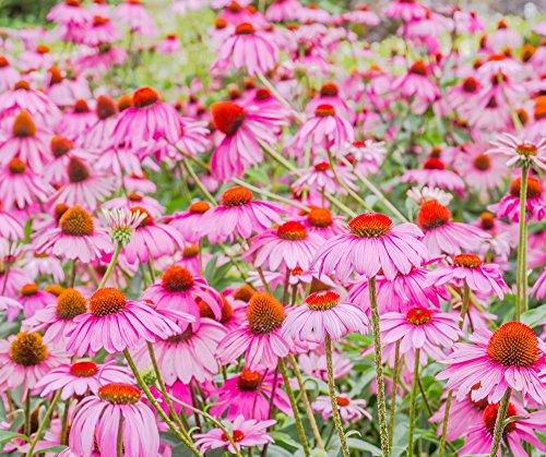 Purpur-Sonnenhut-Samen - Echinacea purpurea - 230 samen