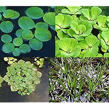 4er Set Muschelblume, Froschbiss, Wassernuss & Krebsschere für Gartenteich
