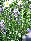 3x Echter Lavendel, Lavandula angustifolia