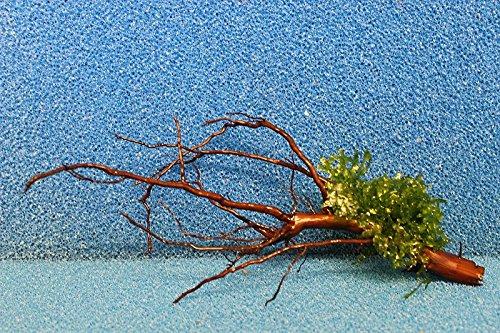 WM1 20-25 cm bepflanzte, gewässerte Moorkienwurzel Moorkienholz Garnelenbäumchen Wurzel