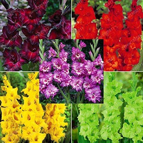 (50) Echte Gladiolen Zwiebeln Gladiolen Blume (nicht Samen) schöne Blumenzwiebeln symbolisiert Nostalgie Hausgarten Pflanze Bonsai-2bulbs