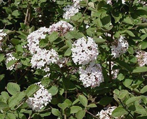 Schneeball (Viburnum tinus)