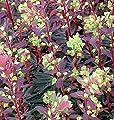 Mandelblättrige Wolfsmilch Purpurea - Euphorbia amygdaloides von Baumschule bei Du und dein Garten