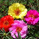 #9: Portulaca Double Mixed Flower Desi Seeds Summer Variety Special for Home and Balcony Gardening (Buy 1 Get 1 Free) By Kraft Seeds