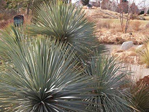1 winterharte Pflanze Yucca rostrata'Sapphir Sky' / Blaublättrige Yucca im 1,5Liter Rosentopf