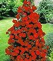 BALDUR-Garten Rote Duft-Strauchrosen, 1 Pflanze von Baldur-Garten - Du und dein Garten