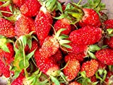 Shoopy Star Pineberry, Sweet, Giant, Red Flowering & Alpine Erdbeersamen = 5 Packungen -USA