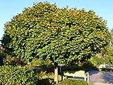 Acer platanoides Globosum - Kugelahorn