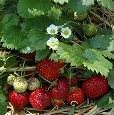 Immertragende Erdbeere Hummi`s Meraldo Hz 6 Stück von Hummel - Erdbeeren - Du und dein Garten