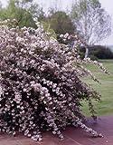 Maiblumenstrauch rosa blühend. 1 Pflanze - zu dem Artikel bekommen