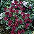 Storchenschnabel, Geranium sanguineum, Set aus 3 Stauden rot blühend, 7cm Topf von Grüner Garten Shop - Du und dein Garten