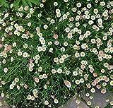 Spanisches Gänseblümchen - Erigeron karvinskianus