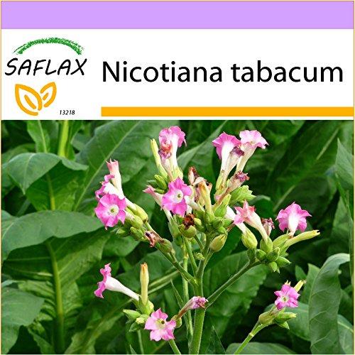 SAFLAX - Echter Virginischer Tabak - 250 Samen - Nicotiana tabacum