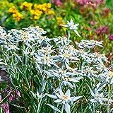 150 Samen Alpen-Edelweiß (Leontopodium alpinum) Edelweiss
