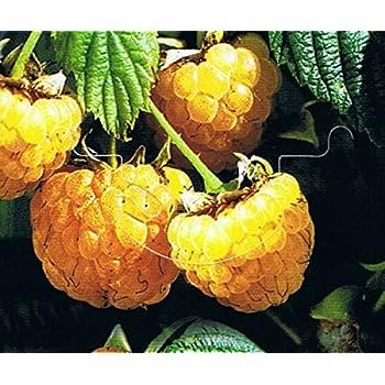 gelbe Himbeere Rubus idaeus Golden Queen 20-40 cm