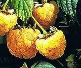 Himbeere - Rubus idaeus - Fallgold - süße Sommerhimbeere, zweimal tragend