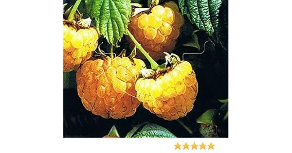 "Gelbe Herbst Himbeere /""Fallgold/"" 2 L Topf"