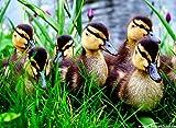 Best Duck Posters - Posterhouzz Wall Poster Duck Birds Ducks Duckling (68) Review