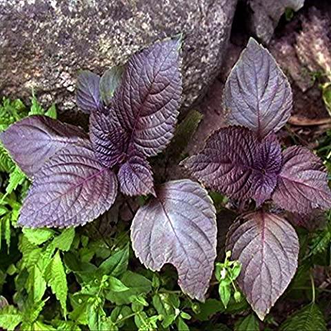 Yongse 60pcs viola Perilla Vegetable Seeds giardino pianta annuale Herb