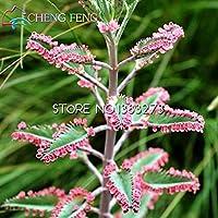 100 semillas Kalanchoe Plantas en maceta Plantones de plena flor en maceta semillas longevidad plántulas de semilla de Año Nuevo Lunar Jardín Decoración