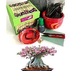 Exklusive Komplette Wüstenrose Bonsai Anzuchtset (Adenium))-Pflanzgefäß aus Keramik! Zehn Teile -Geschenk für einen Gärtner